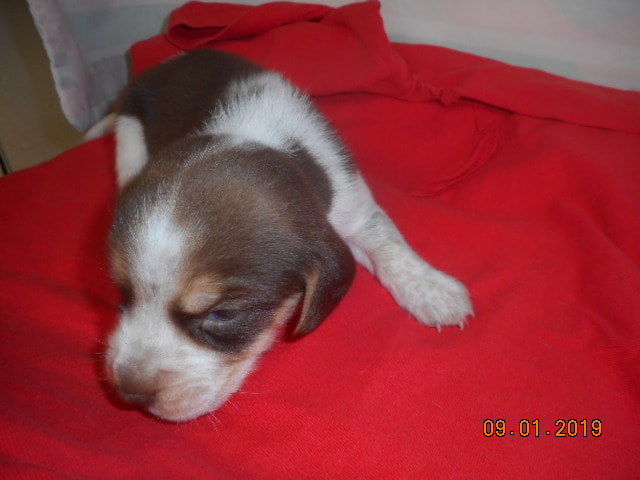 Beagle Puppies - DAN & EVELYN RYAN'S KENNEL